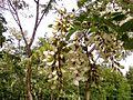 White acacia flowers on tree.jpg