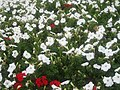 White and red flowers at Marble Arch 1.JPG