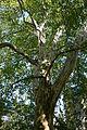 Wiener Naturdenkmal 531 - Morgenländische Platane (Hietzing) f.JPG