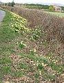 Wild daffodils near Timberhill Farm - geograph.org.uk - 730714.jpg