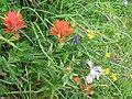 Wildflowers, saddle mountain (732454653).jpg