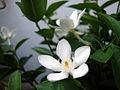 Wrightia antidysenterica (2).JPG
