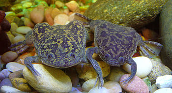 English: African clawed frogs (Xenopus laevis)