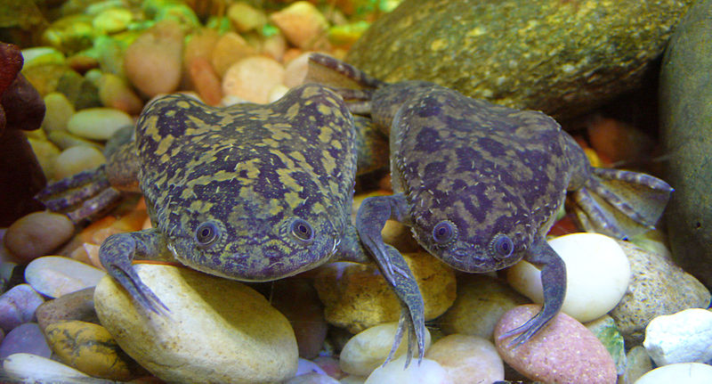 Clawed Frog Pair