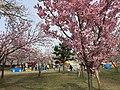 Yaezakura, Muramatsu Park, Niigata pref., April 2018.jpg
