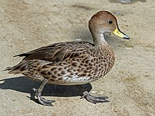 Yellow-billed Pintail RWD3.jpg
