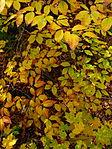 Yellow-leaves-beech-tree - West Virginia - ForestWander.jpg