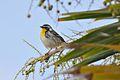 Yellow-throated Warbler (6913364635).jpg