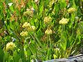 Yellow Buckwheat (15034619268).jpg