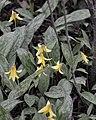 Yellow Trout Lily (Erythronium americanum) - Kitchener, Ontario 01.jpg