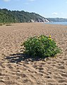 Yellow horned poppy, Strete Gate - geograph.org.uk - 1361006.jpg