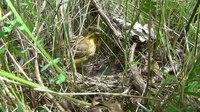 File:Yellowhammer (Emberiza citrinella) and chicks.webm