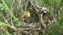 Soubor:Yellowhammer (Emberiza citrinella) and chicks.webm