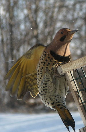 A hungry yellowshafted Northern Flicker, strug...