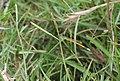 Yellowtail Damselfly.jpg