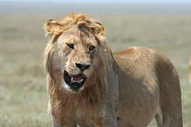 Young male lion in the Serengeti.jpg