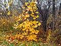 Young maple - panoramio (1).jpg