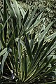 Yucca filamentosa Bright Edge NBG LR.jpg