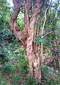 Z Canthium inerme - Groote Schuur indigenous forest Cape Town.JPG