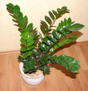 Zimmerpflanzen Die Viel Sonne Vertragen forum zwanui thema anzeigen zamioculcas zimmerpflanze die