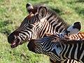 Zebra, Ngorongoro (2015).jpg