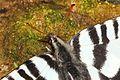 Zebra Swallowtail - Eurytides marcellus, Leesylvania State Park, Woodbridge, Virginia - 8662268882.jpg