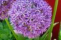 Zen garden flower - Hortensie.JPG
