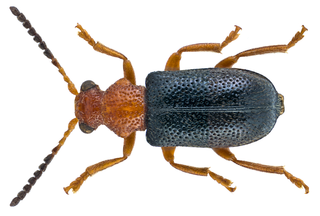 Megalopodidae family of insects