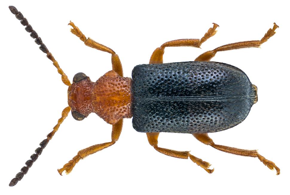 Zeugophora subspinosa (Fabricius, 1781) (4669941108)