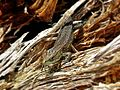 Zootoca vivipara (Viviparous lizard), Gennep, the Netherlands - 2.jpg