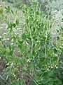Zygophyllum fabago, SW Ukraine.jpg