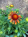 'Arizona Red Shades' gaillardia IMG 2729.jpg