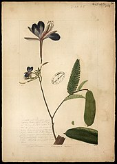 (Heterosfemon mimosoides)