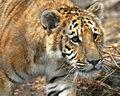 (Panthera leo x Panthera tigris) x Panthera tigris (3).jpg
