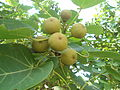 (Thespesia populnea) Fruits at Tenneti park 04.JPG