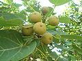 (Thespesia populnea) Fruits at Tenneti park 04.JPG