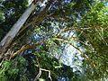 Árvore fina envergada.jpg