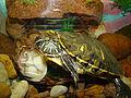 Żółw w akwarium (1).JPG