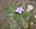 Λουλούδι P5010060.jpg