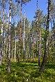 Березово-сосновий ліс. Заказник Мельницький.jpg