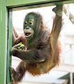 Борнейский орангутан II.jpg