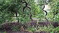 Ботанічний сад. Хвилясті дерева.jpg
