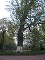 Ботанічний сад ім. Гришка. Каштан..JPG