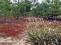 Подлесок из красного мха - panoramio.jpg