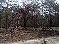 """Чудернацькі дерева у """"Поліському природному заповіднику"""" 02.jpg"""