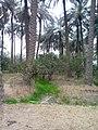 بستان نخيل في الخالص 111.jpg