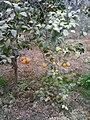 ثمار شجرة الليمون.jpg
