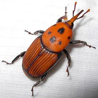 Rhynchophorus - Rhynchophorus ferrugineus