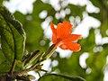คอร์เดีย (Geranium tree ) Cordia debestina L. 12.jpg