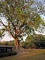 ต้นศรีมหาโพธิ์ อุทยานประวัติศาสตร์สุโขทัย - panoramio.jpg